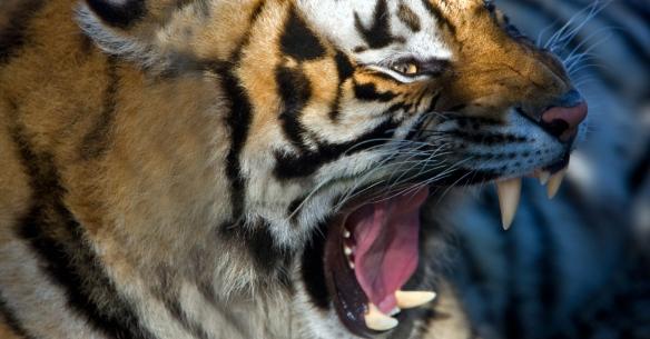 Bengal tiger West Coast Game Park Oregon